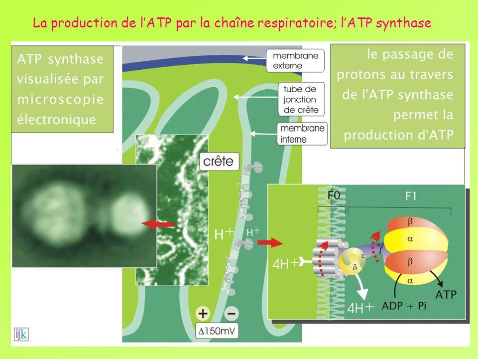 La production de lATP par la chaîne respiratoire; lATP synthase