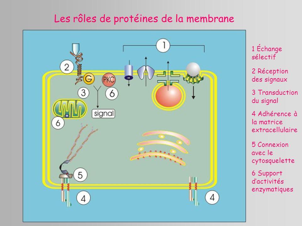 Les rôles de protéines de la membrane 1 Échange sélectif 2 Réception des signaux 3 Transduction du signal 4 Adhérence à la matrice extracellulaire 5 C