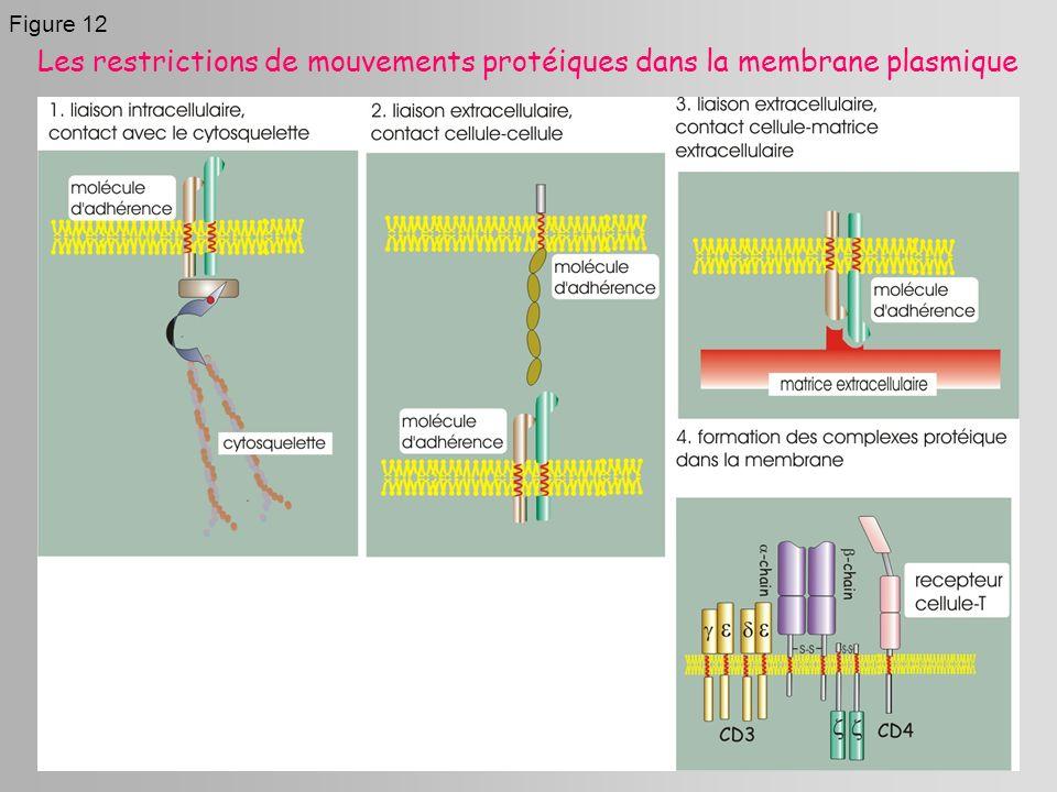 Figure 12 Les restrictions de mouvements protéiques dans la membrane plasmique