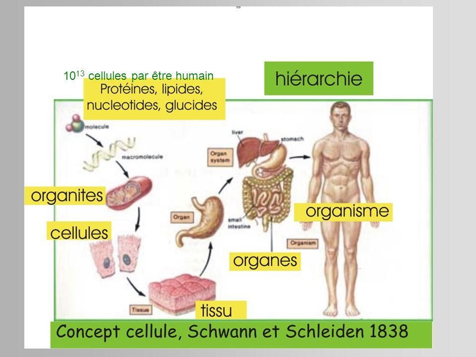 10 13 cellules par être humain