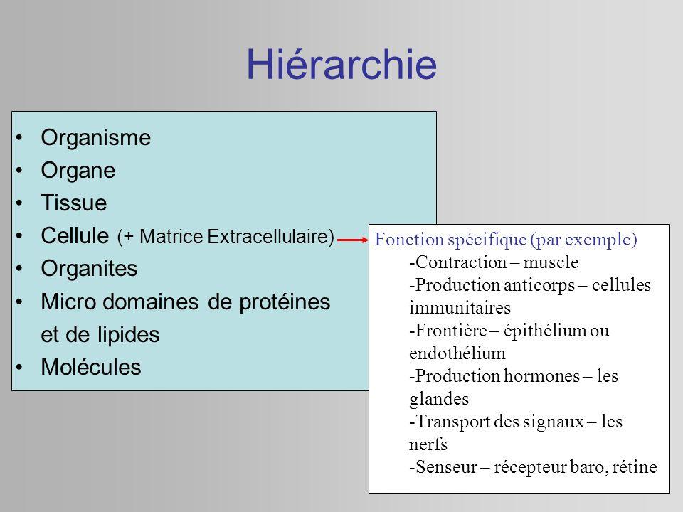 Hiérarchie Organisme Organe Tissue Cellule (+ Matrice Extracellulaire) Organites Micro domaines de protéines et de lipides Molécules Fonction spécifiq