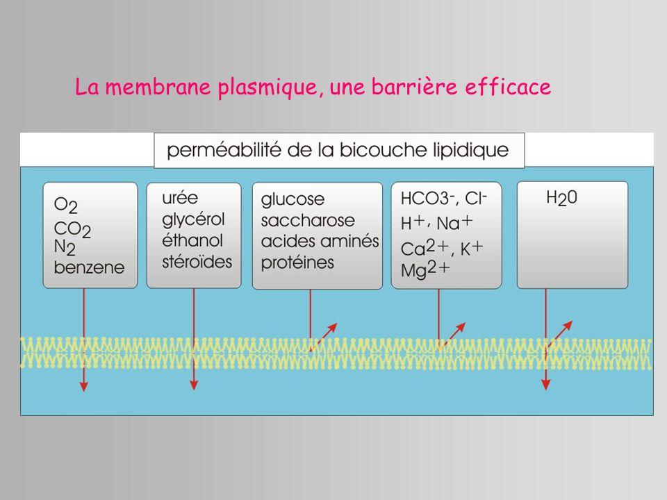 La membrane plasmique, une barrière efficace
