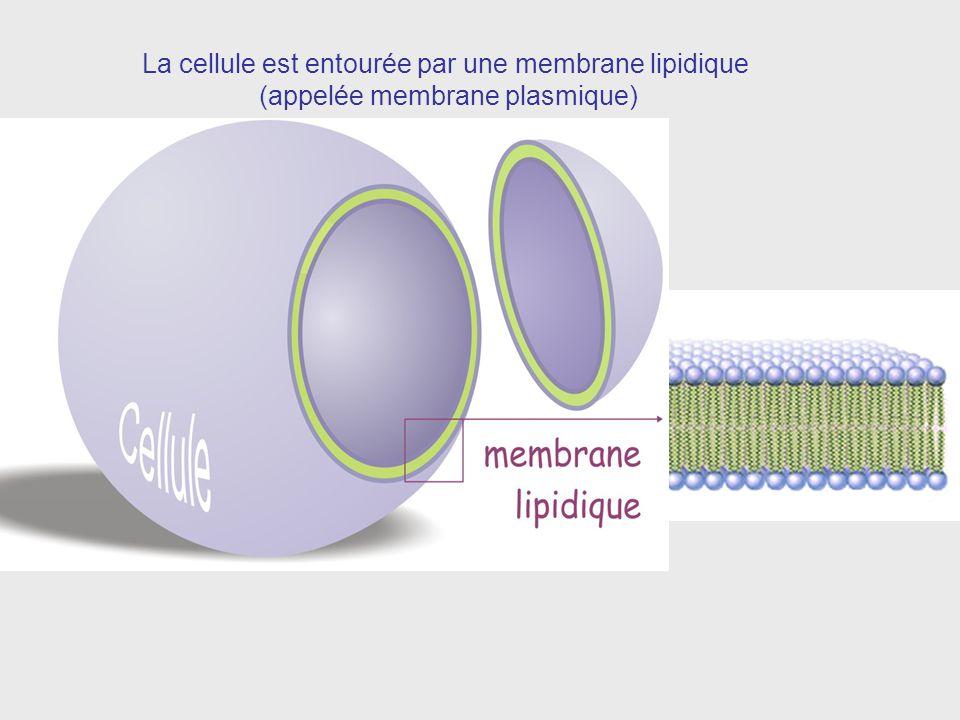 La cellule est entourée par une membrane lipidique (appelée membrane plasmique)