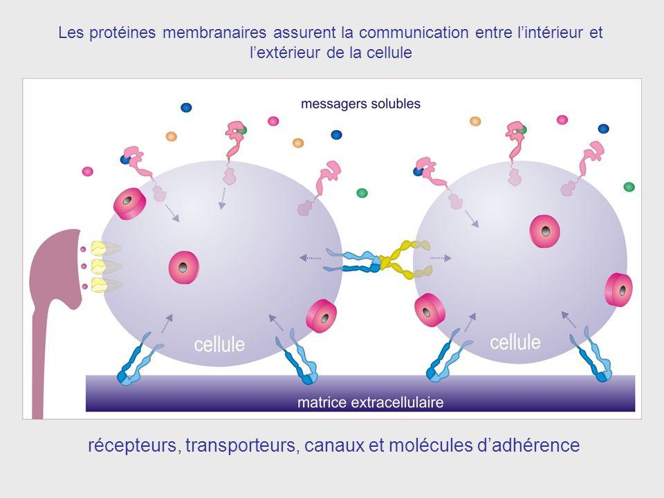 Les protéines membranaires assurent la communication entre lintérieur et lextérieur de la cellule récepteurs, transporteurs, canaux et molécules dadhérence