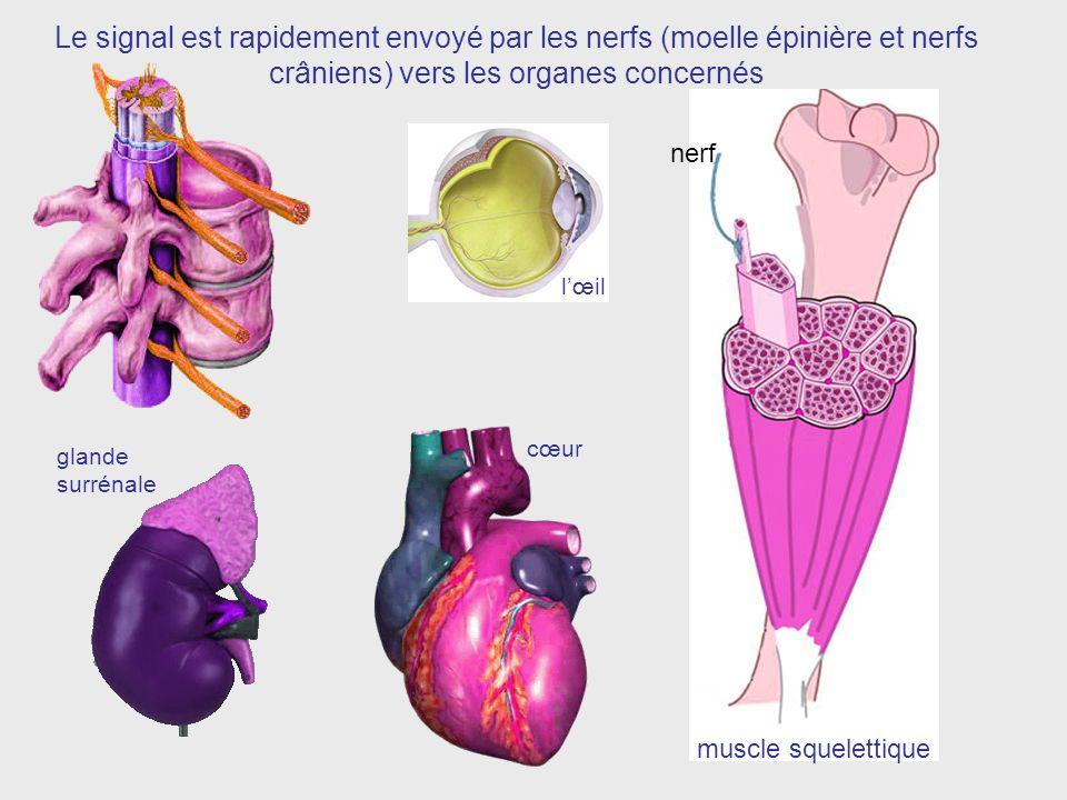 nerf Le signal est rapidement envoyé par les nerfs (moelle épinière et nerfs crâniens) vers les organes concernés muscle squelettique cœur glande surrénale lœil