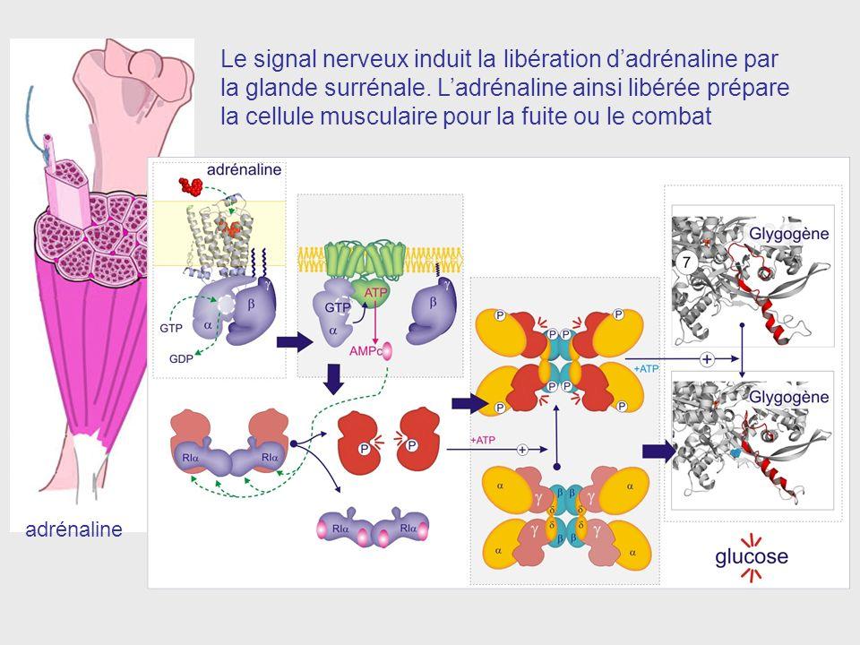 adrénaline Le signal nerveux induit la libération dadrénaline par la glande surrénale.