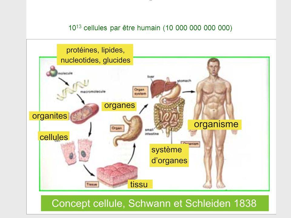 10 13 cellules par être humain (10 000 000 000 000)