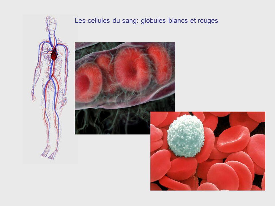 Les cellules du sang: globules blancs et rouges