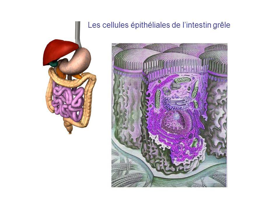 Les cellules épithéliales de lintestin grêle