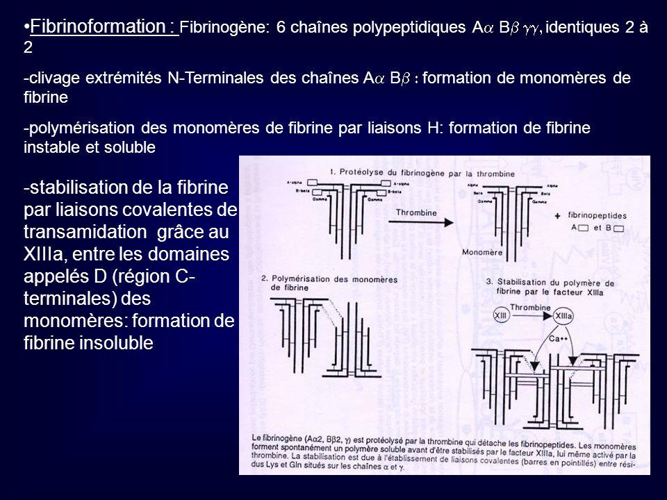 Fibrinoformation : Fibrinogène: 6 chaînes polypeptidiques A B identiques 2 à 2 -clivage extrémités N-Terminales des chaînes A B formation de monomères