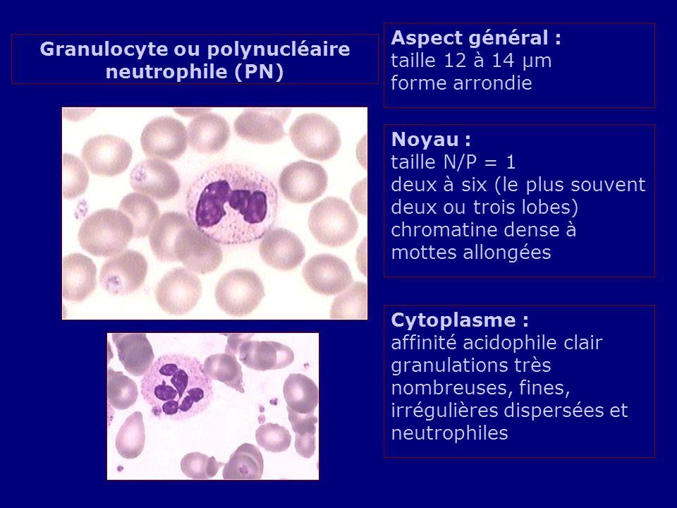 Aspect général : taille 12 à 14 µm forme arrondie Noyau : taille N/P = 1 deux à six (le plus souvent deux ou trois lobes) chromatine dense à mottes al