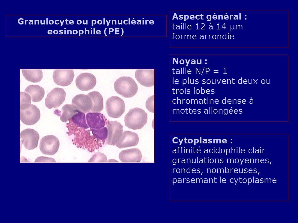 Aspect général : taille 12 à 14 µm forme arrondie Noyau : taille N/P = 1 le plus souvent deux ou trois lobes chromatine dense à mottes allongées Cytop