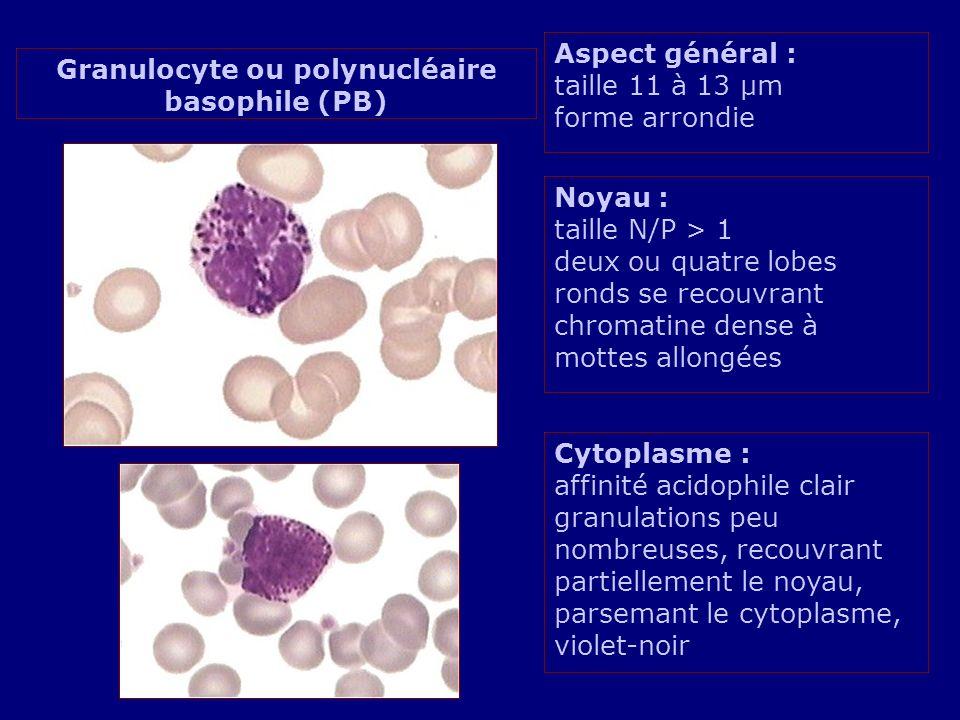 Aspect général : taille 11 à 13 µm forme arrondie Noyau : taille N/P > 1 deux ou quatre lobes ronds se recouvrant chromatine dense à mottes allongées