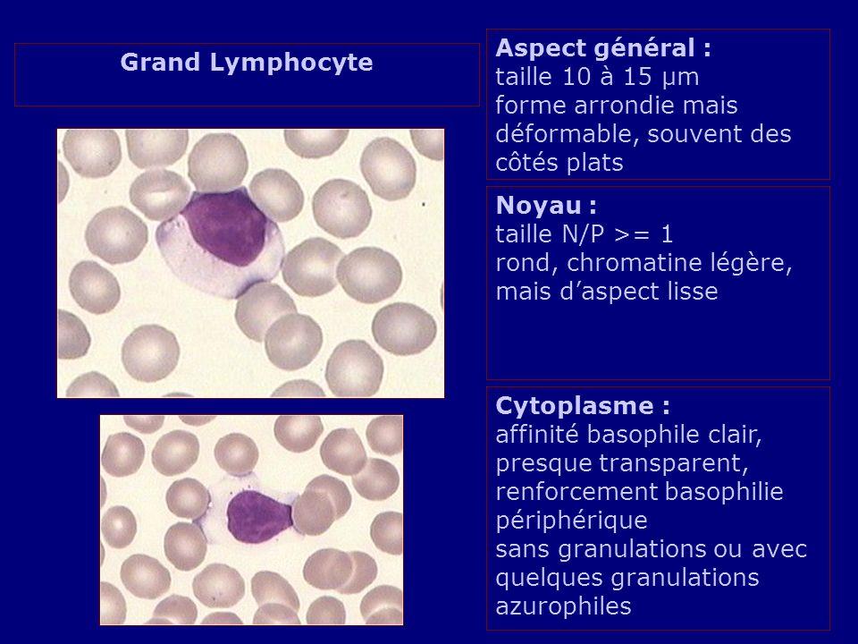 Aspect général : taille 10 à 15 µm forme arrondie mais déformable, souvent des côtés plats Noyau : taille N/P >= 1 rond, chromatine légère, mais daspe