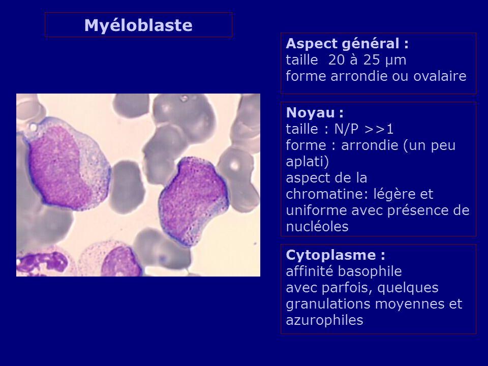 Aspect général : taille 20 à 25 µm forme arrondie ou ovalaire Noyau : taille : N/P >>1 forme : arrondie (un peu aplati) aspect de la chromatine: légère et uniforme avec présence de nucléoles Cytoplasme : affinité basophile avec parfois, quelques granulations moyennes et azurophiles Myéloblaste