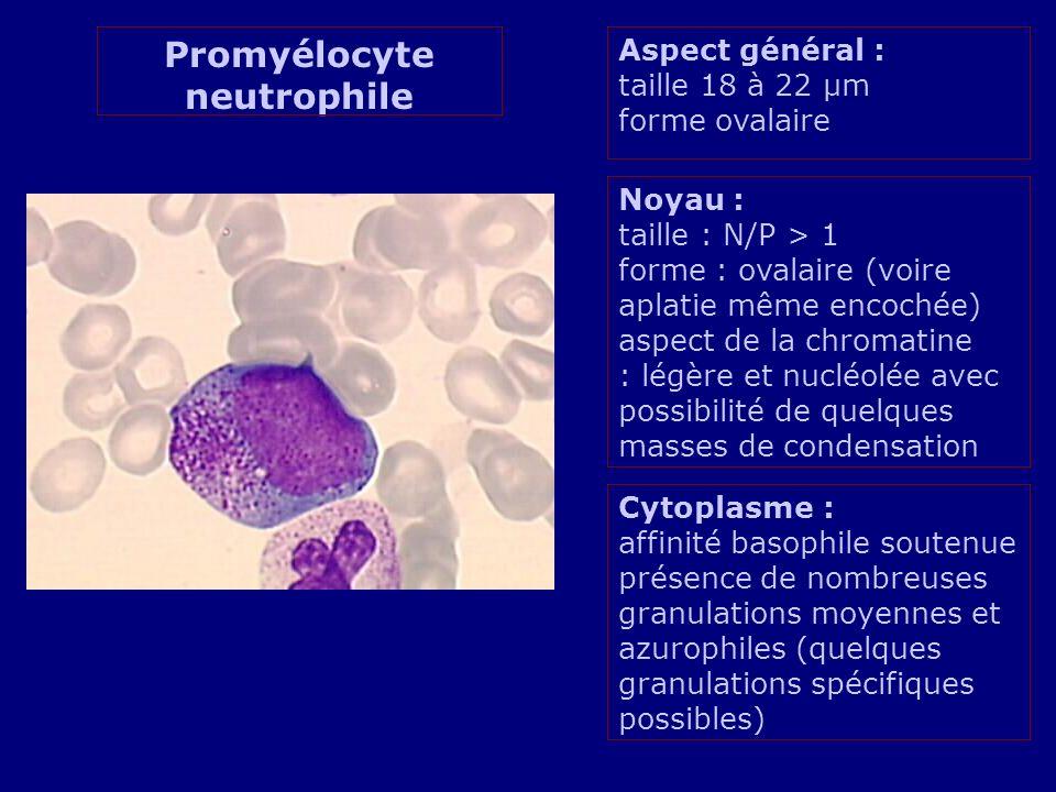 Aspect général : taille 18 à 22 µm forme ovalaire Noyau : taille : N/P > 1 forme : ovalaire (voire aplatie même encochée) aspect de la chromatine : légère et nucléolée avec possibilité de quelques masses de condensation Cytoplasme : affinité basophile soutenue présence de nombreuses granulations moyennes et azurophiles (quelques granulations spécifiques possibles) Promyélocyte neutrophile