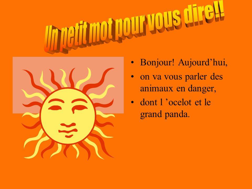 Bonjour! Aujourdhui, on va vous parler des animaux en danger, dont l ocelot et le grand panda.