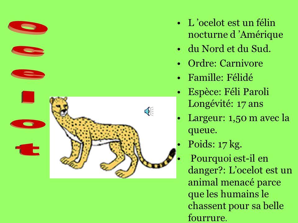 L ocelot est un félin nocturne d Amérique du Nord et du Sud.