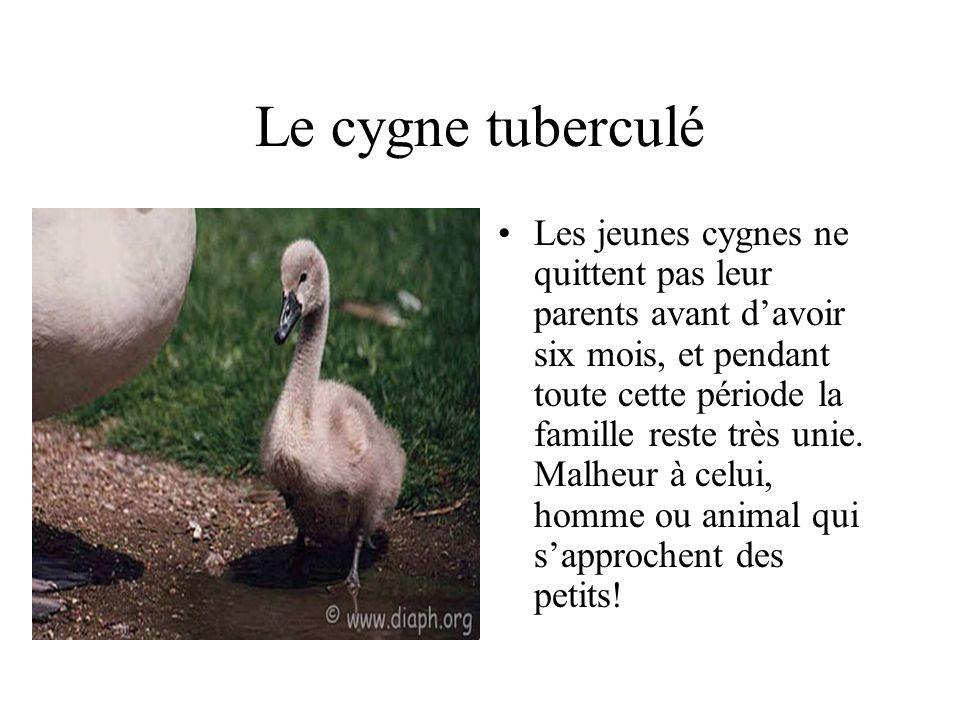 Le cygne tuberculé Les jeunes cygnes ne quittent pas leur parents avant davoir six mois, et pendant toute cette période la famille reste très unie.
