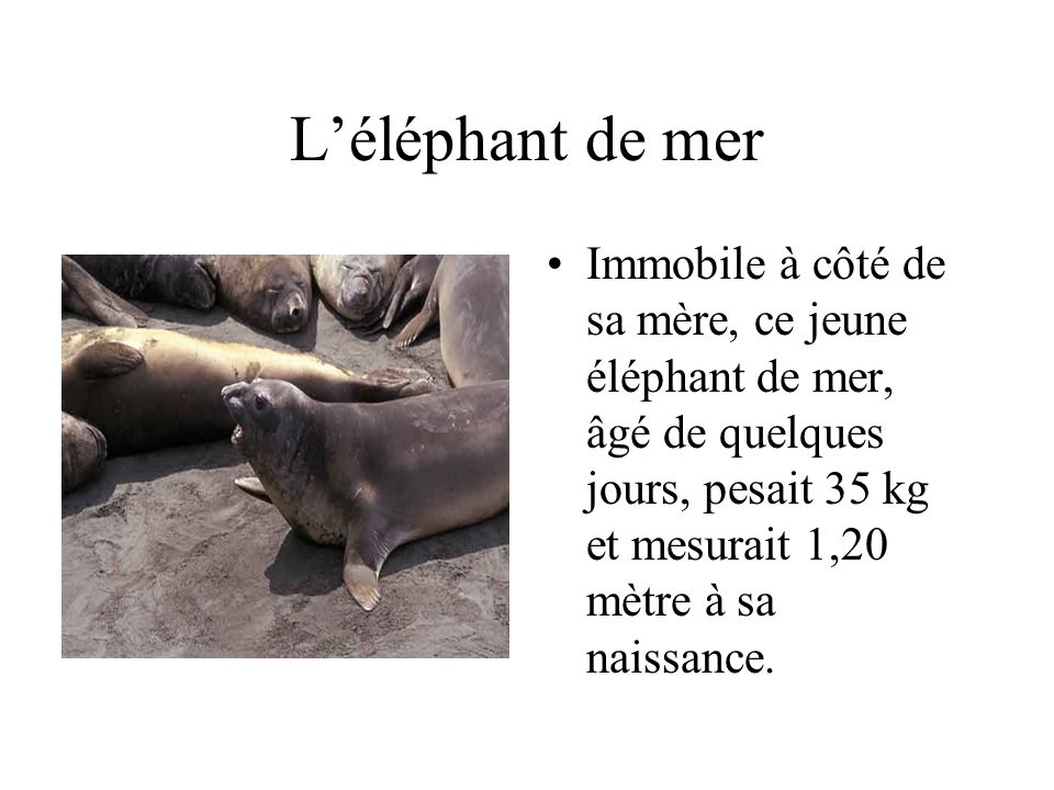 Léléphant de mer Immobile à côté de sa mère, ce jeune éléphant de mer, âgé de quelques jours, pesait 35 kg et mesurait 1,20 mètre à sa naissance.