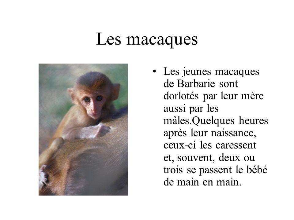 Les macaques Les jeunes macaques de Barbarie sont dorlotés par leur mère aussi par les mâles.Quelques heures après leur naissance, ceux-ci les caressent et, souvent, deux ou trois se passent le bébé de main en main.
