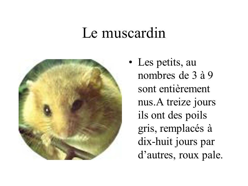 Le muscardin Les petits, au nombres de 3 à 9 sont entièrement nus.A treize jours ils ont des poils gris, remplacés à dix-huit jours par dautres, roux pale.