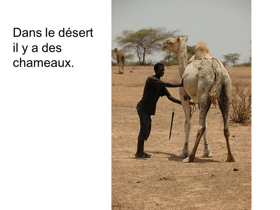 Dans le désert il y a des chameaux.