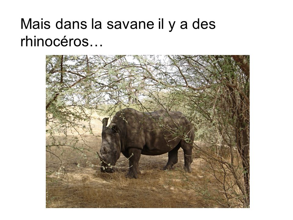 Mais dans la savane il y a des rhinocéros…