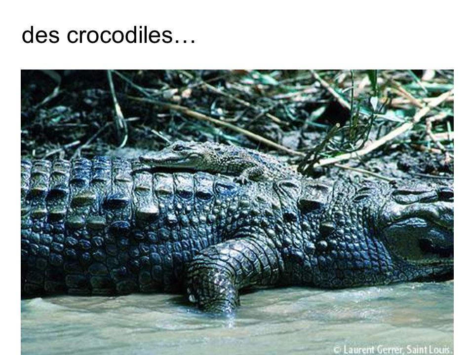 des crocodiles…