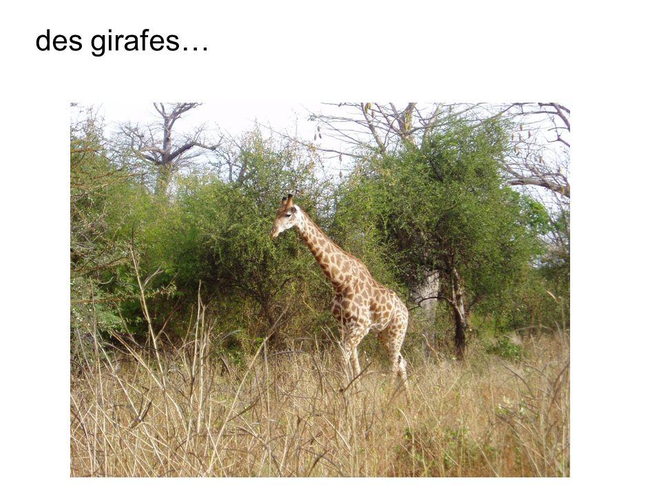 des girafes…
