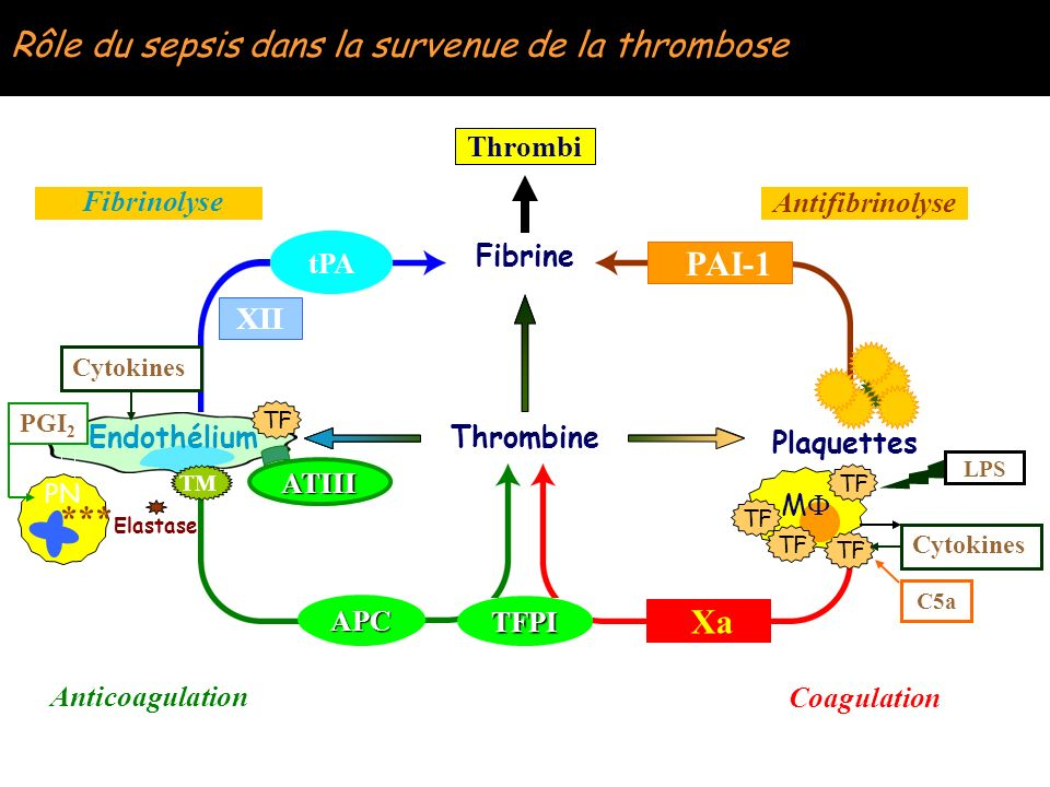 Rôle du sepsis dans la survenue de la thrombose Fibrine Thrombine Plaquettes Xa tPA APC Endothélium TM PN P-s Elastase Cytokines PGI 2 TF ATIII TFPI C
