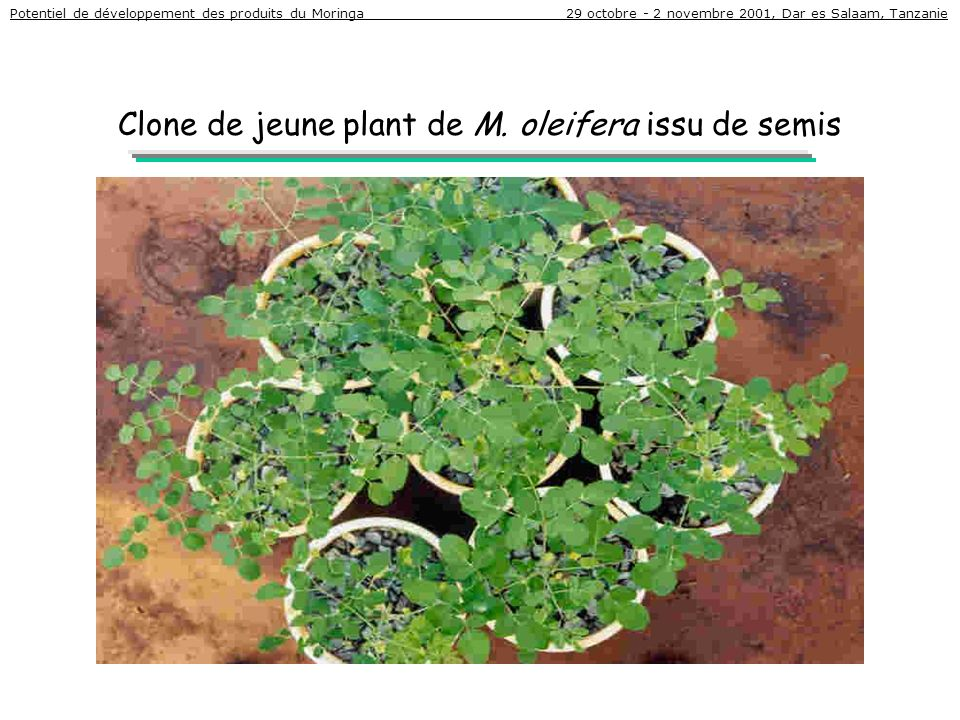 Clone de jeune plant de M. oleifera issu de semis Potentiel de développement des produits du Moringa 29 octobre - 2 novembre 2001, Dar es Salaam, Tanz