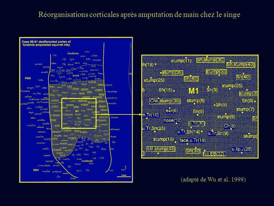 (adapté de Wu et al. 1999) Réorganisations corticales après amputation de main chez le singe