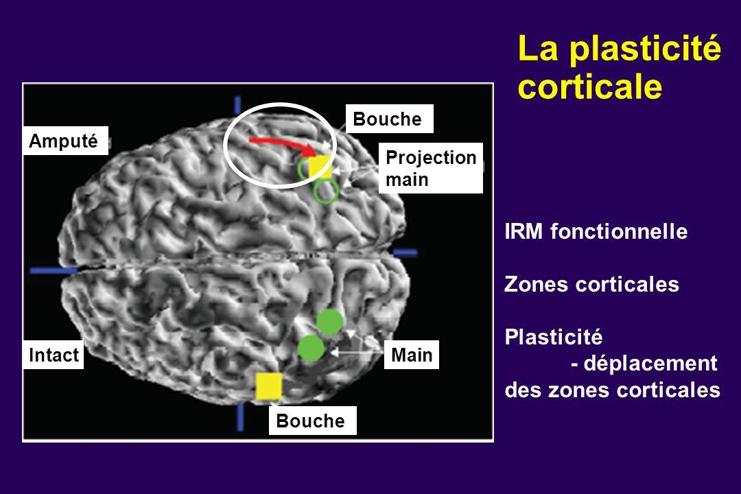 La plasticité corticale IRM fonctionnelle Zones corticales Plasticité - déplacement des zones corticales Intact Amputé Bouche Main Projection main Bou