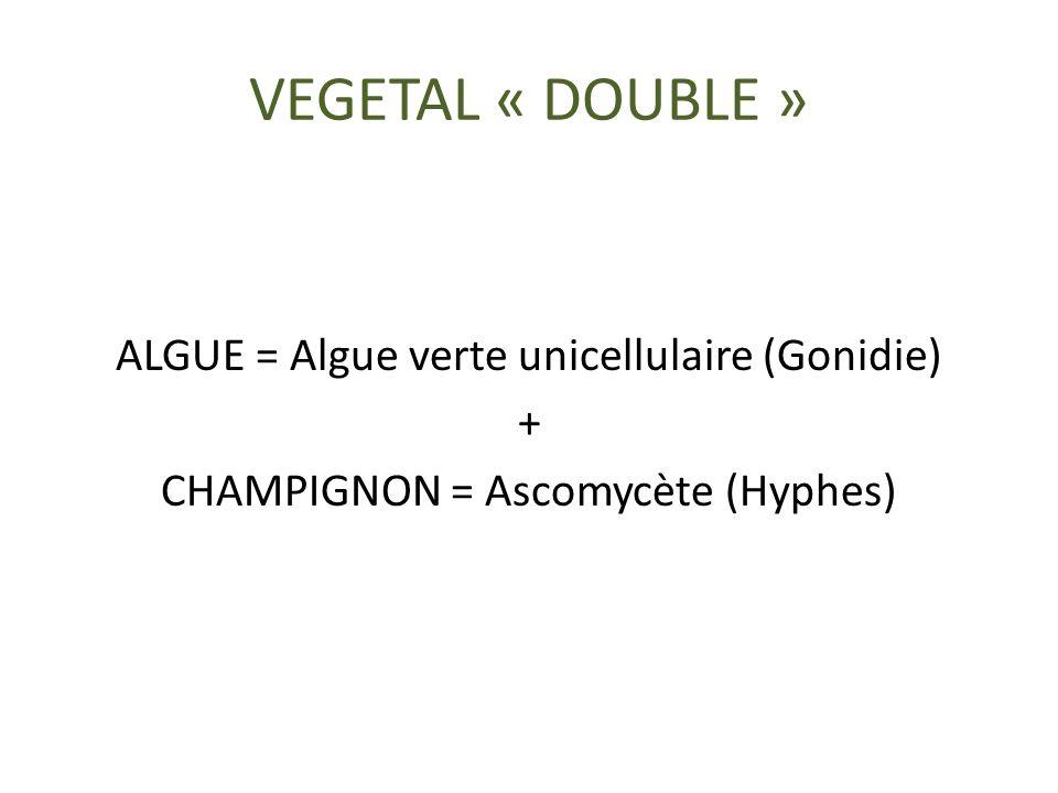 VEGETAL « DOUBLE » ALGUE = Algue verte unicellulaire (Gonidie) + CHAMPIGNON = Ascomycète (Hyphes)