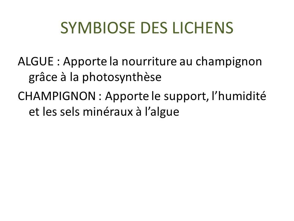 SYMBIOSE DES LICHENS ALGUE : Apporte la nourriture au champignon grâce à la photosynthèse CHAMPIGNON : Apporte le support, lhumidité et les sels minéraux à lalgue