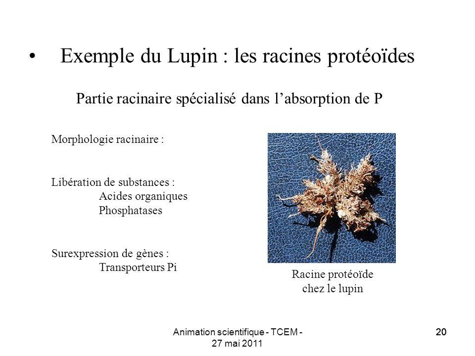 20 Animation scientifique - TCEM - 27 mai 2011 20 Exemple du Lupin : les racines protéoïdes Partie racinaire spécialisé dans labsorption de P Racine p