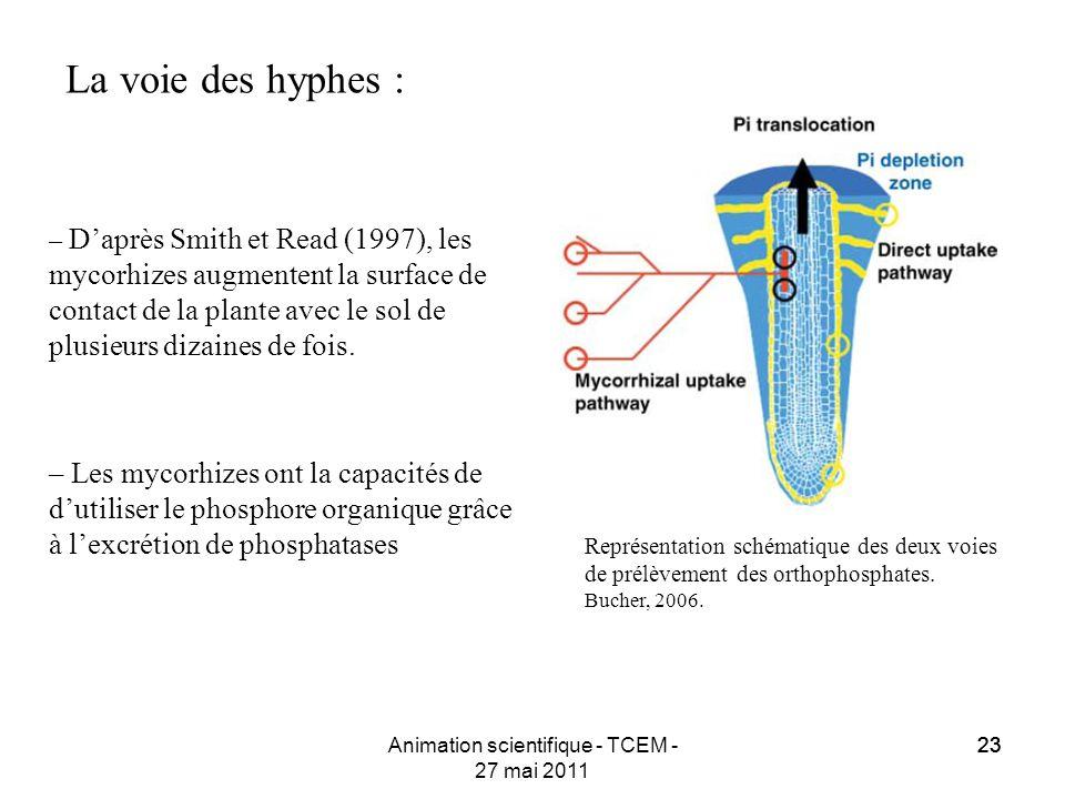 23 Animation scientifique - TCEM - 27 mai 2011 23 La voie des hyphes : – Daprès Smith et Read (1997), les mycorhizes augmentent la surface de contact
