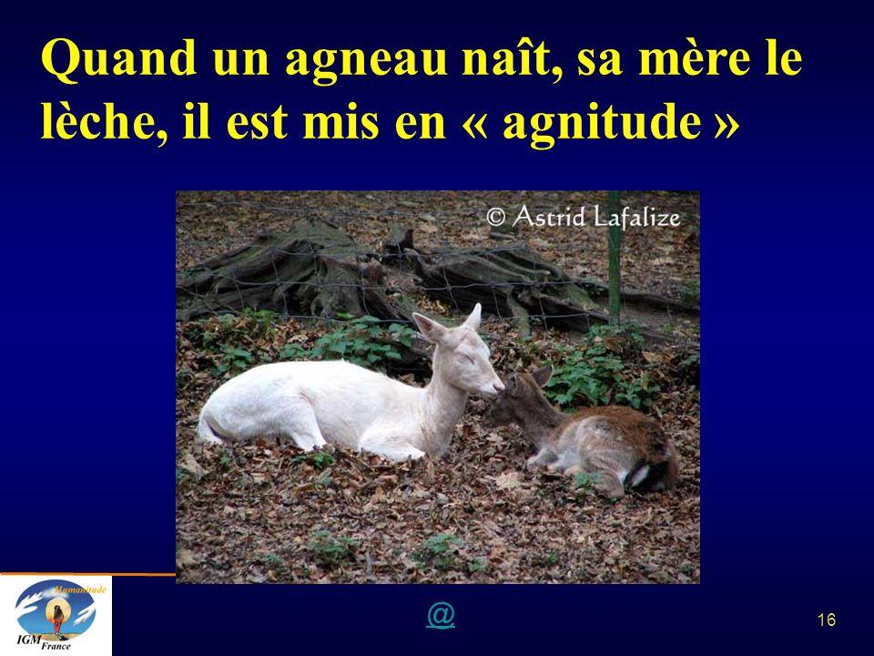 @ 16 Quand un agneau naît, sa mère le lèche, il est mis en « agnitude »