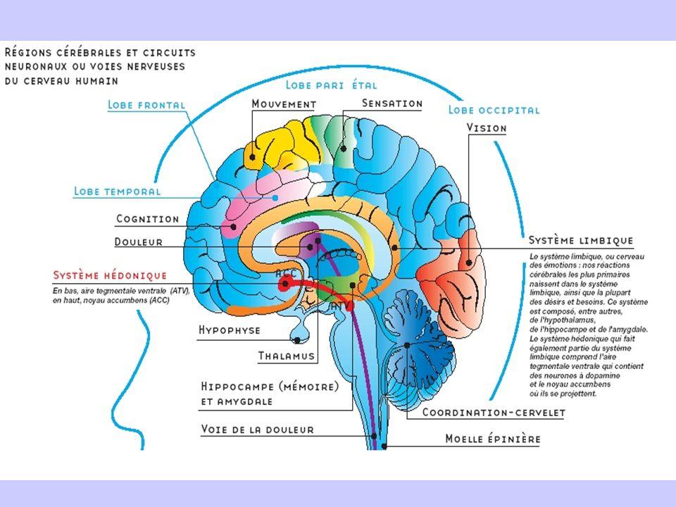 Le système limbique est le cerveau des émotions, cest là que nos réactions les plus primitives naissent ainsi que la plupart des désirs et des besoins.