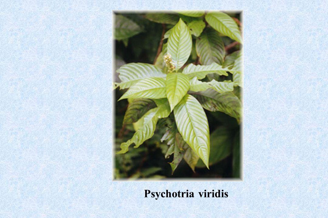 Psychotria viridis