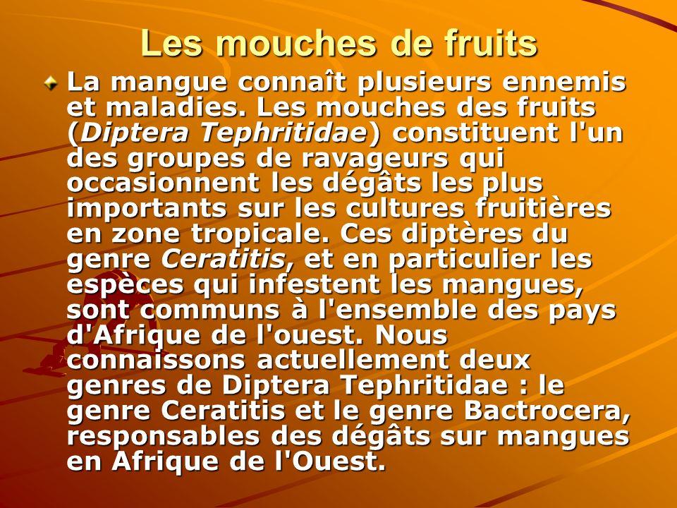 Les mouches de fruits La mangue connaît plusieurs ennemis et maladies. Les mouches des fruits (Diptera Tephritidae) constituent l'un des groupes de ra