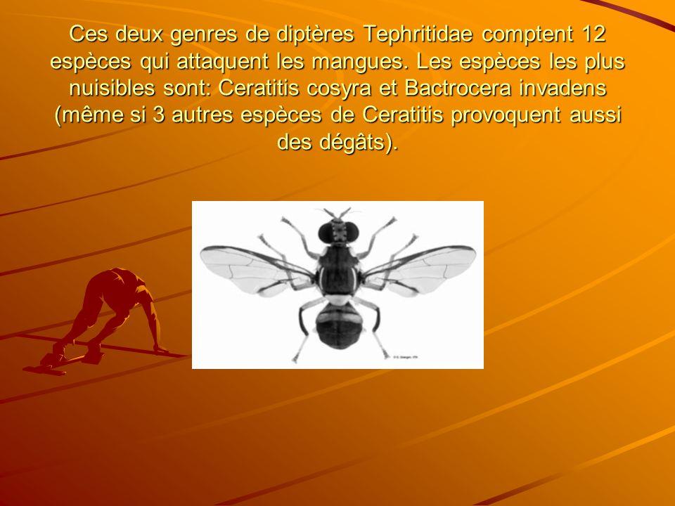 Ces deux genres de diptères Tephritidae comptent 12 espèces qui attaquent les mangues. Les espèces les plus nuisibles sont: Ceratitis cosyra et Bactro