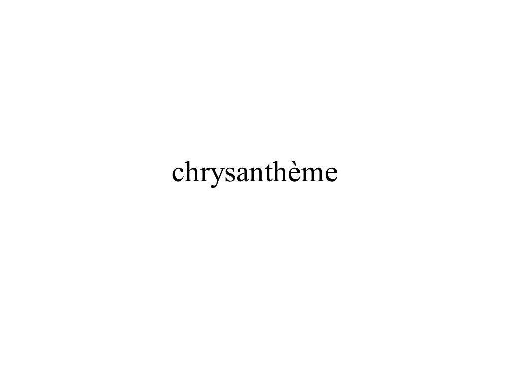 ChrysanthèmeChrysanthème