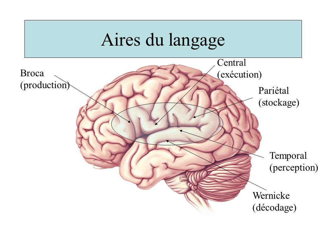 Aires du langage Broca (production) Wernicke (décodage) Central (exécution) Pariétal (stockage) Temporal (perception)