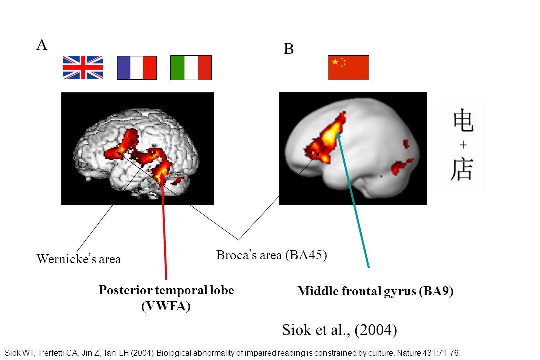 Middle frontal gyrus (BA9) Broca s area (BA45) Wernicke s area Posterior temporal lobe (VWFA) A B Siok et al., (2004) Siok WT, Perfetti CA, Jin Z, Tan