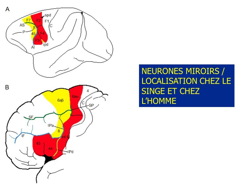 NEURONES MIROIRS / LOCALISATION CHEZ LE SINGE ET CHEZ LHOMME