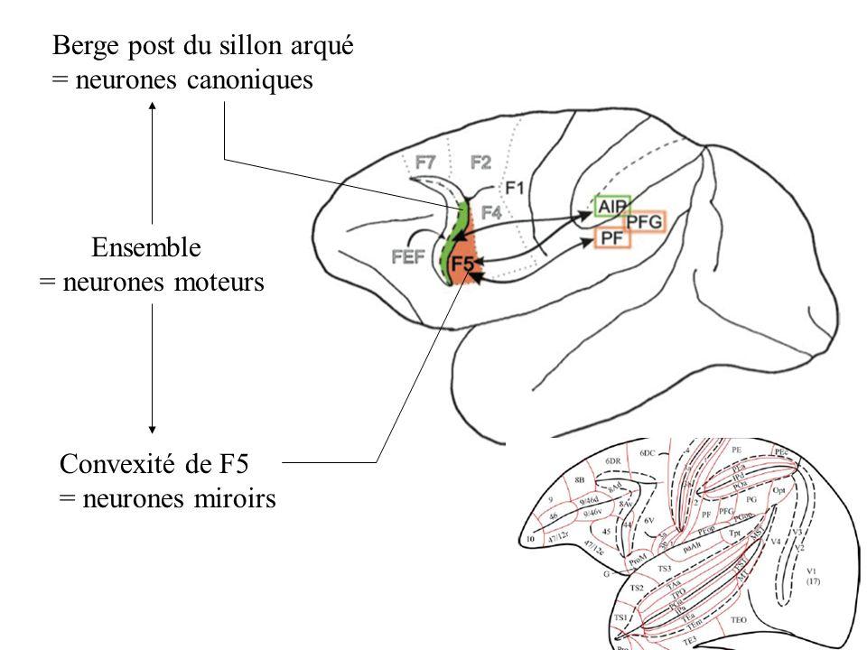 Convexité de F5 = neurones miroirs Berge post du sillon arqué = neurones canoniques Ensemble = neurones moteurs