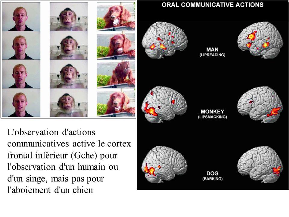 L'observation d'actions communicatives active le cortex frontal inférieur (Gche) pour l'observation d'un humain ou d'un singe, mais pas pour l'aboieme