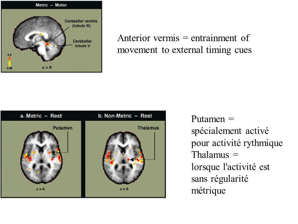 Anterior vermis = entrainment of movement to external timing cues Putamen = spécialement activé pour activité rythmique Thalamus = lorsque l'activité